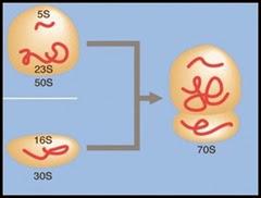 70S Ribosomes