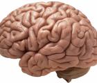 brain-990x622